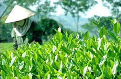Kỹ thuật trồng chè xanh đúng cách sẽ cho năng suất cao nhất