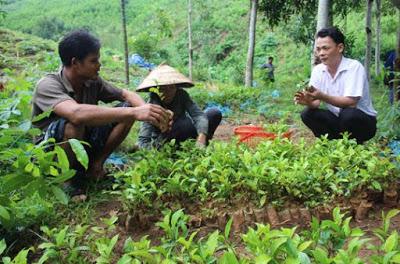 Cách trồng chè