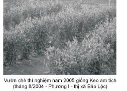 Thí nghiệm trồng chè Keo Am Tích tại Lâm Đồng năm 2004